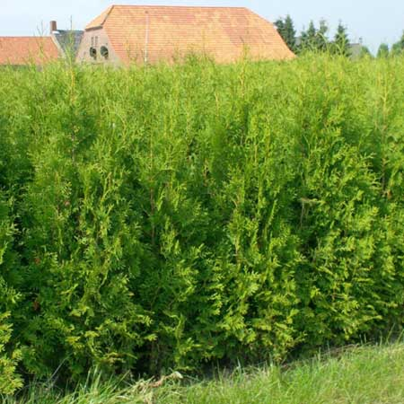 Photo de Thuya du Canada, Thuja occidentalis Brabant