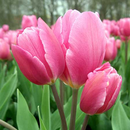 Photo de Tulipe multiflore Happy Family par 10