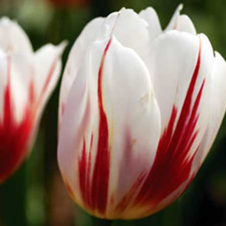 Photo de Tulipe triomphe Happy Generation