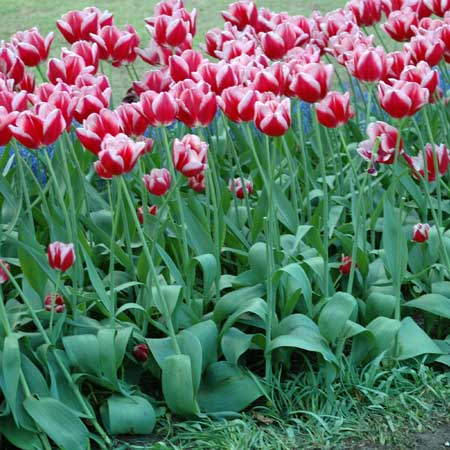 Photo de Tulipe Triomphe Leen Van Der Mark