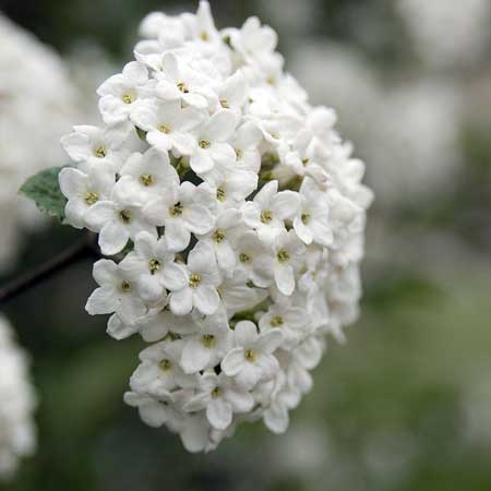 Photo de Viburnum burkwoodii
