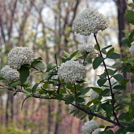 Photo de Viburnum carlesii