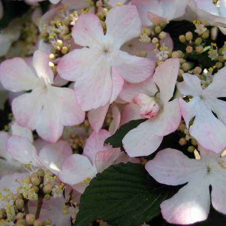 Photo de Viburnum plicatum Pink Beauty