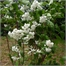 Photo de Deutzia gracilis