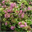 Photo de Escallonia Apple Blossom