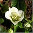 Photo de Helleborus niger, Rose de Noël