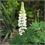 Photo de Lupin vivace Gallery blanc