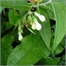 Photo de Consoude, Symphytum officinale