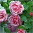 Photo de Rosier grimpant rose