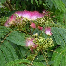 Photo de Albizia julibrissin Ombrella