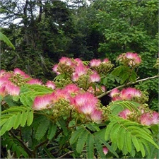 Photo de Albizia julibrissin Rosea