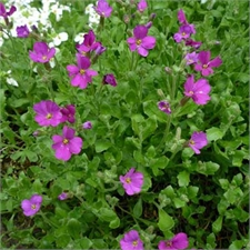Photo de Aubrieta, Aubriète rose