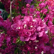 Photo de Bougainvillée violet, Bougainvillea sandriana