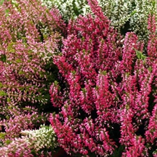 Photo de Bruyère commune, Callune (Calluna vulgaris) rouge