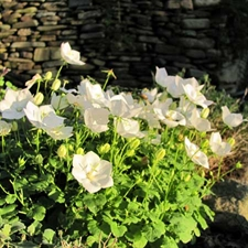 Photo de Campanula cochlearifolia White Baby