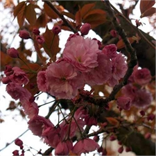 Photo de Cerisier du Japon - Prunus serrulata Kanzan