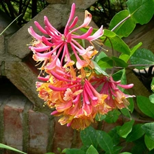 Photo de Lonicera heckrottii 'American Beauty' orange et mauve