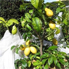 Photo de Citronnier, Citrus limon