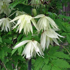 Photo de Clematis alpina Albina Plena