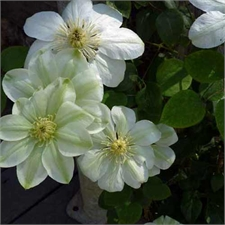 Photo de Clematis pat. 'Guernsey Cream'