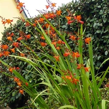 Photo de Montbretia, Crocosmia par 10
