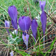 Photo de Crocus Vernus Flower Record