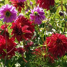 Photo de Dahlias cactus en mélange par 5
