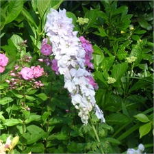 Photo de Delphinium Pacific la collection de 3 plantes