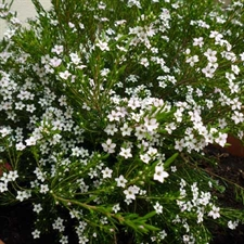 Photo de Diosma 'sunset gold'