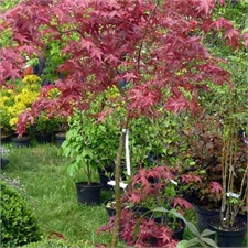 Photo de  Erable du Japon, Acer palmatum