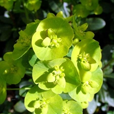 Photo de Euphorbia amygdaloides 'Kolibri®'