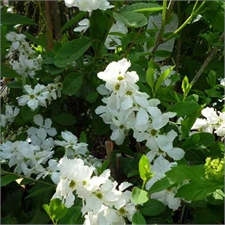 Photo de Exochorda The Bride