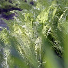 Photo de Fougère mâle, Dryopteris filix-mas