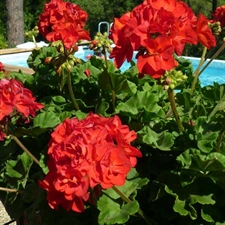 Photo de Géranium zonale rouge (Pelargonium zonale)