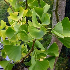 Photo de Ginkgo biloba