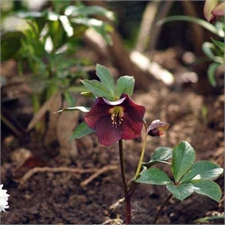 Photo de Hellebore orientale Red Lady