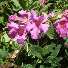 Photo de Incarvillea delavayi les 3 bulbes