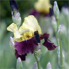 Photo de Grand Iris des jardins