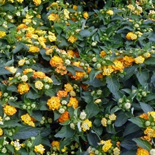 Photo de Lantana sur tige orange