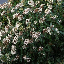 Photo de Laurier tin, Viburnum tinus