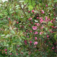 Photo de Leptospermum Red Damask rouge