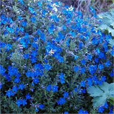 Photo de Lithodora bleu