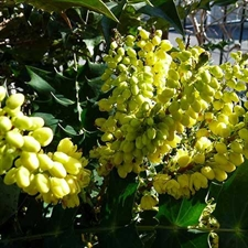 Photo de Mahonia Winter Sun