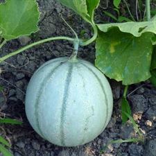 Photo de Melon charentais