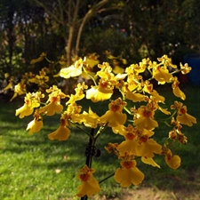 Photo de Oncidium 2 tiges