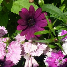 Photo de Osteospermum 'Sunny mary' Violet