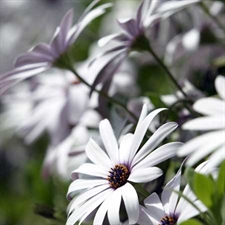 Photo de Osteospermum blanc