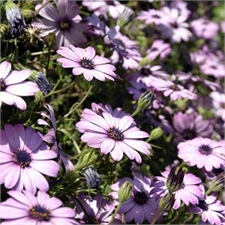 Photo de Osteospermum Sunny 'Elisabeth' rose