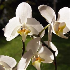 Photo de Phalaenopsis blanc 1 hampe