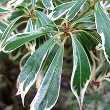 Photo de Pieris japonica Variegata